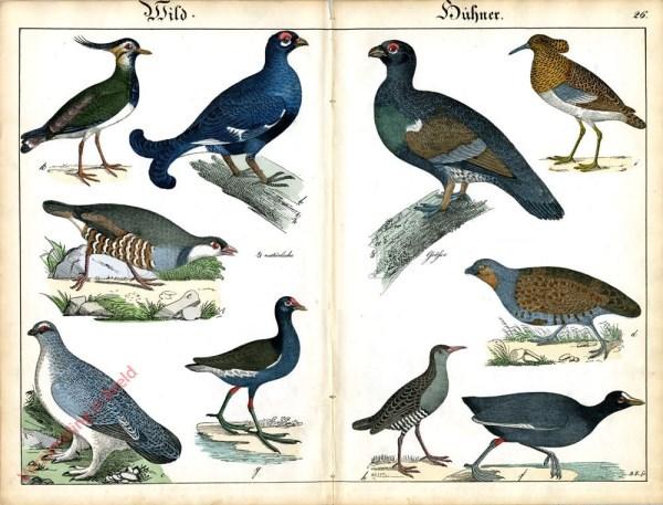XXVI - Wild Hühner. Auerhahn, Birkhahn, Schneehuhn, Rebhuhn, Steinhuhn, Blässhuhn, Rohrhuhn, Wasserralle, Kampf