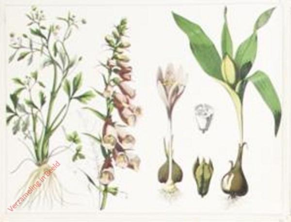 I - Giftpflanzen. Gifthahnenfuß, Rother Fingerhut, Herbstzeitlose