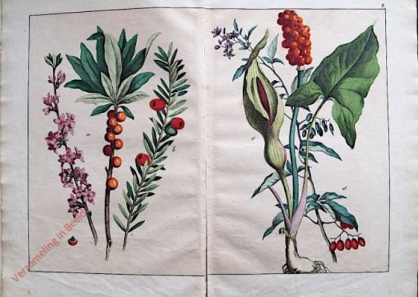 II - Seidelbast, Taxus- oder Eibenbaum, gemeiner oder geflckter Aron, Bitterfuß