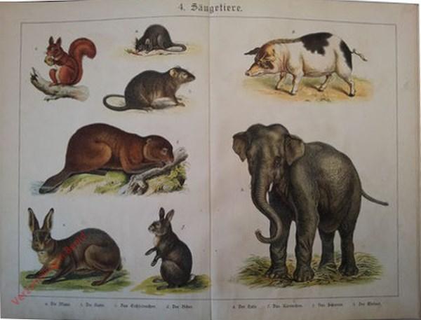 4 -  Säugetiere. [Eekhoorn, Rat, Bever, Haas, Konijn, Varken, Olifant]