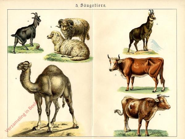 5 -  Säugetiere. [Geit, Schaap, Dromedaris, Gems, Rund]