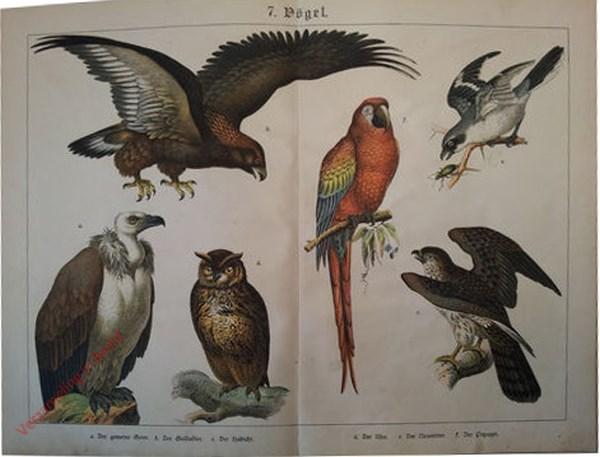 7 - Vögel. [Gier, Arend, Uil, Papagaai, Klapekster]