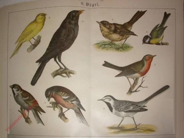 9 - Vögel. [Mus, Vink, Witte kwikstaart, Merel, Roodborst, Koolmees, Zanglijster]