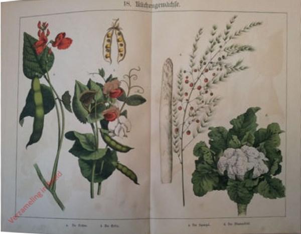 18 - Küchengewächse. Bone, Erbse, Spargel, Blumenkohl