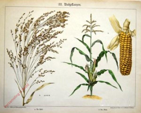 22 - Nutzpflanzen. Hirse, Mais