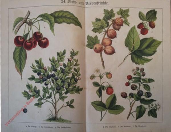 24 - Stein- und Beerenfrüchte. [Kers, Framboos, Braam, Blauwe bes, Kruisbes]