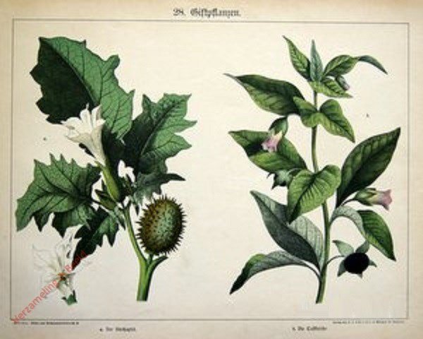 28 -  Giftpflanzen. Stechapfel, Tollkirsche