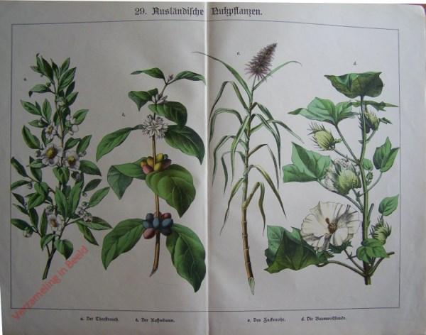 29 - Ausländische Nutzpflanzen. Der Theestrauch, Der Kaffeebaum, der Zuckerrohr, die Baumwollstaude