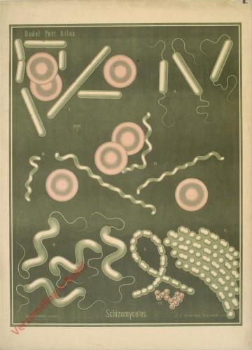 II - Schizomycetes
