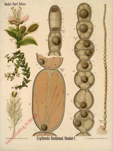 III? - Erythrotis Beddomei, Hooker f.