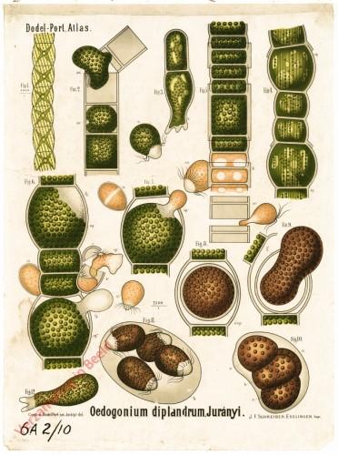 VII - Oedogonium diplandrum, Jurányi