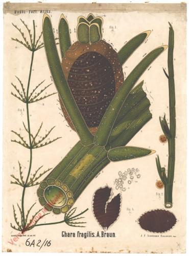 IX - Chara fragilis, A. Braun