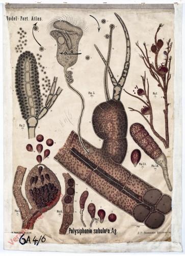 XI - Polysiphonia sybulata. Ag.