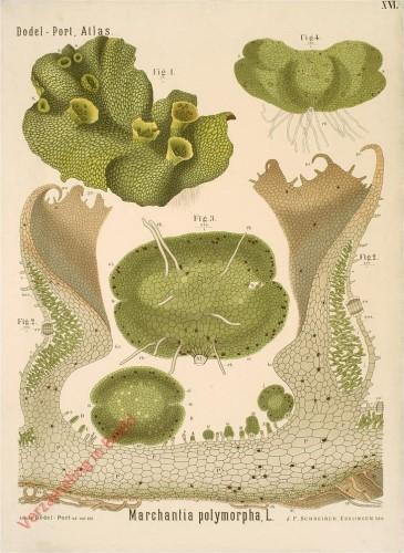 XVI - Marchantia polymorpha, L.