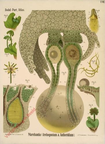 XVII - Marchantia (Archegonium & Antheridium)