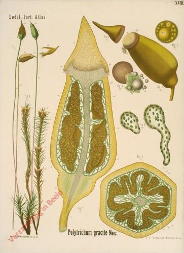 XVIII - Polytrichum gracile Menz.