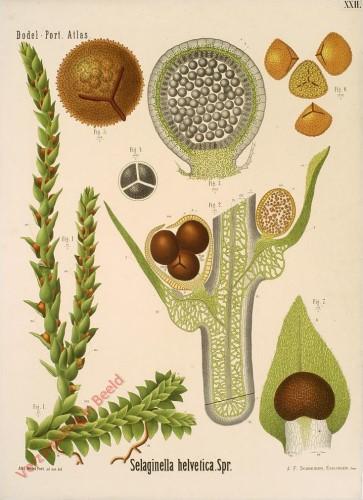 XXII - Selaginella helvetica. Spr.