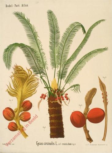 XXIII? - Cycas circinalis L.