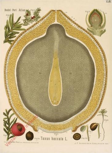 XXIV - Taxus baccata L.