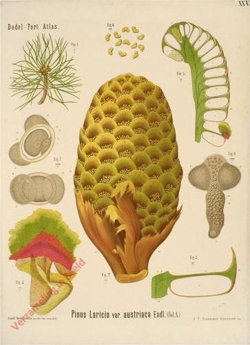 XXV - Pinus Laricio var. austriaca Endl. (fol. A)