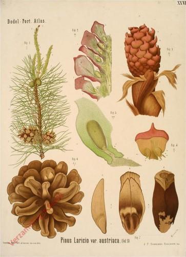 XXVI - Pinus Laricio var. Austriaca (fol. B)