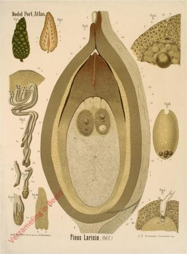 XXVII - Pinus Laricio (fol. C)