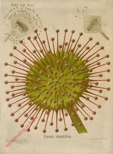 XXVIII? - Drosera rotundifolia