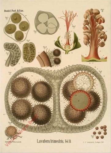 XXXII? - Lavatera trimestrix, Fol. B