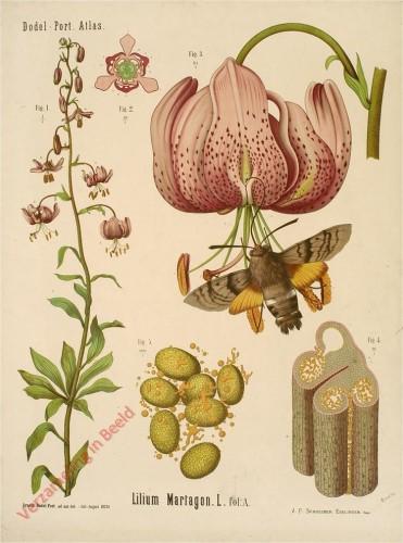XXXIII - Lilium Martagon. L. fol A