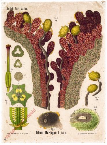 XXXIV - Lilium Martagon. L. fol B