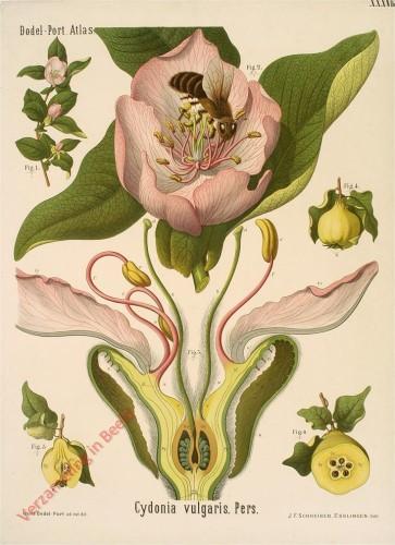 XXXVIII - Cydonia vulgaris. Pers.