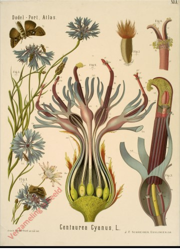 XLI - Centaurea Cyanus, L.