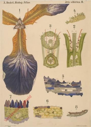 II - Iris Sibirica