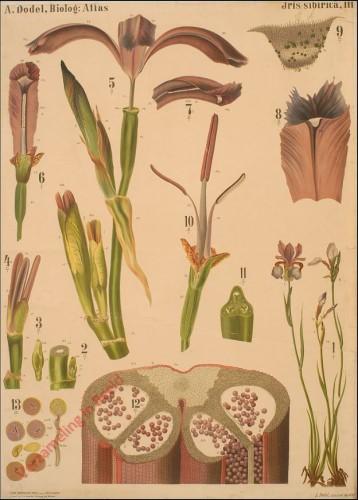 III - Iris Sibirica