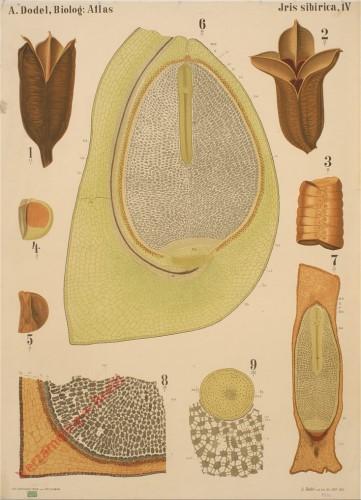 IV - Iris Sibirica