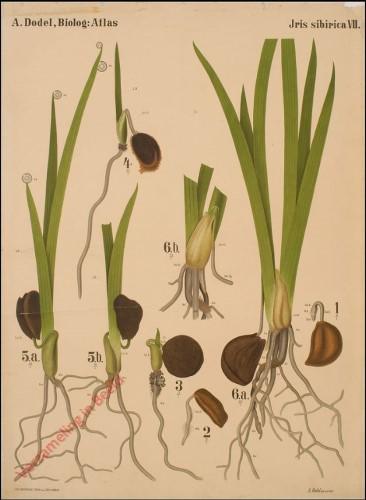 VII - Iris Sibirica