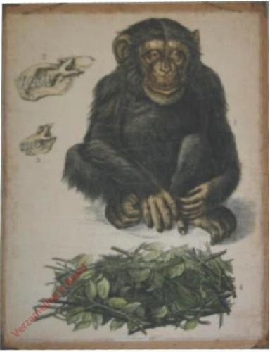 1 [2e druk] - Schimpanse [Herschilderd]