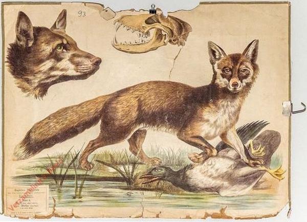 4 [1e druk] - Fuchs, Kopf des Wolfes