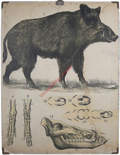 13 [2e druk] - Wildschwein [Herschilderd]