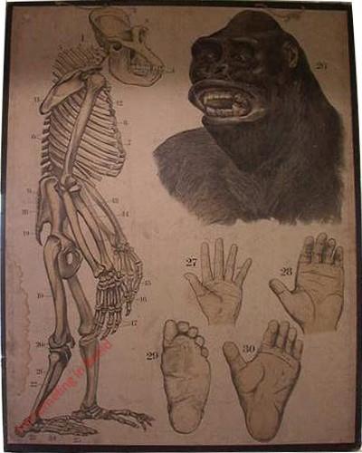 25 [2e druk] - Gorilla [Kijkt naar links]