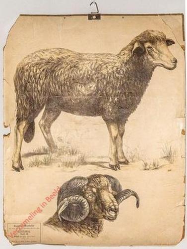 28 [1e druk] - Schaf Kopf eines Widders