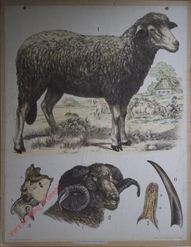 28 [2e druk] - Schaf Kopf eines Widders [Herschilderd]
