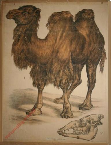 29 [2e druk] - Kamel [Met geraamte van poot]