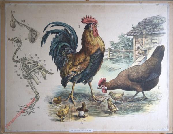 31 [2e druk] - Haushahn mit Henne und Jungen [met achtergrond]