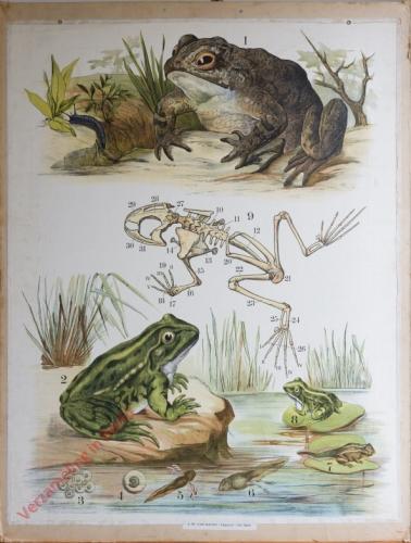33 [2e druk] - Kröte, Frosch [Herschilderd]