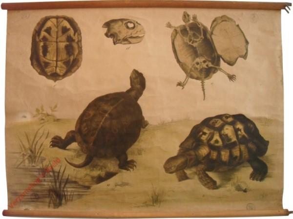 39 [1e druk] - Sumpfschildkröte, griechische Schildkröte [Schilden boven]