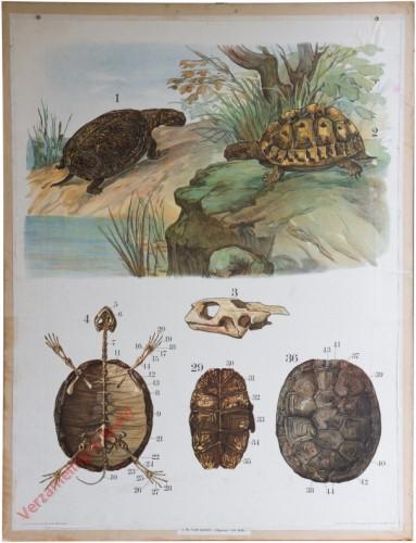 39 [2e druk] - Sumpfschildkröte, griechische Schildkröte [Schilden beneden]