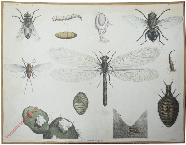 44 [1e druk] - Stubenfliege, Schmeissfliege, Ameisenlöwe [Vliegenkop midden]