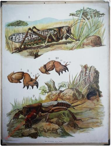 45 [2e druk] - Wanderheuschrecke, Maulwurfsgrille [Herschilderd]