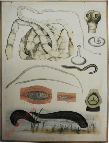 47 [1e druk] - Blutegel, Trichine, Bandwurm, Regenwurm